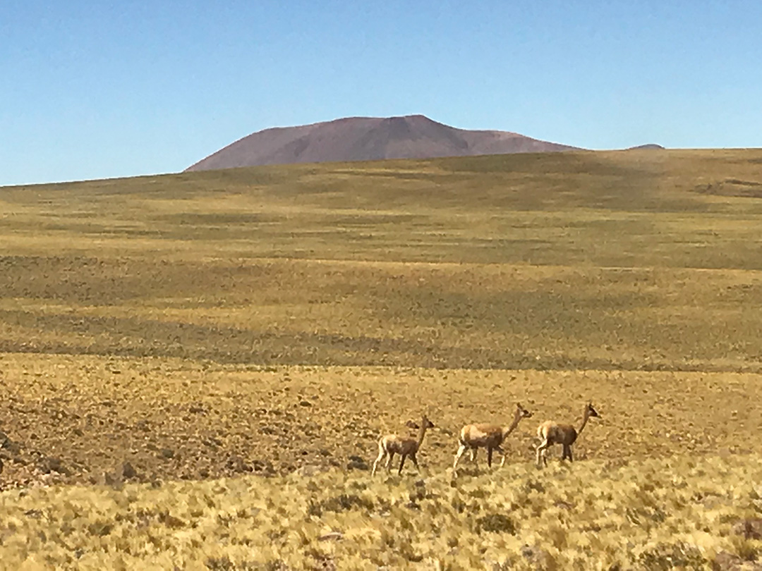 Vicunas Chile